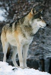 Fullbodywolf
